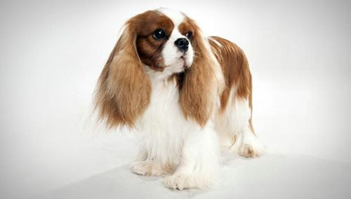 The Unique Feature of Spaniel Dog Breeds